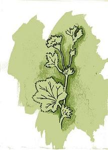 Alchemilla - Lady's Mantle ink and watercolor by Judy Fletcher